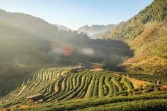 2000 exploração agrícola do chá, montanha de Doi Angkhang, Chiangmai, Tailândia Fotografia de Stock