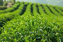 Exploração agrícola do chá verde imagem de stock royalty free