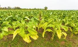 Exploração agrícola do cigarro em Tailândia fotos de stock royalty free