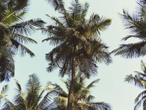 Exploração agrícola do coco imagem de stock
