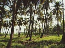 Exploração agrícola do coco fotografia de stock