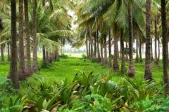 Exploração agrícola do coco Imagem de Stock Royalty Free