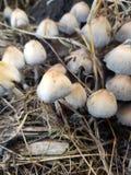 Exploração agrícola do cogumelo Imagem de Stock