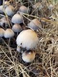 Exploração agrícola do cogumelo Foto de Stock