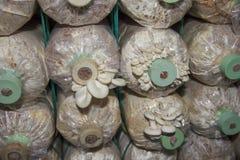 Exploração agrícola do cogumelo Imagens de Stock Royalty Free