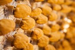 Exploração agrícola do cogumelo de Lingzhi Fotografia de Stock Royalty Free