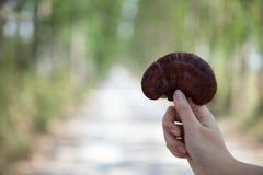 Exploração agrícola do cogumelo de Lingzhi Imagem de Stock
