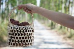 Exploração agrícola do cogumelo de Lingzhi Imagens de Stock