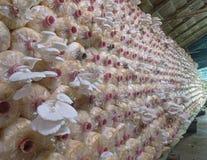 A exploração agrícola do cogumelo de ostra Fotos de Stock Royalty Free