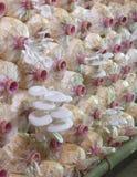 A exploração agrícola do cogumelo de ostra Fotos de Stock