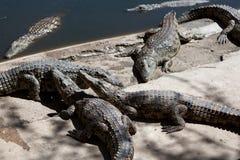 Exploração agrícola do crocodilo Imagens de Stock