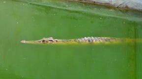 Exploração agrícola do crocodilo Imagem de Stock Royalty Free