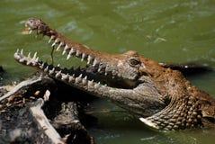 Exploração agrícola do crocodilo Fotografia de Stock