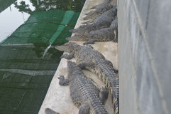 Exploração agrícola do crocodilo de Samutprakan Imagens de Stock