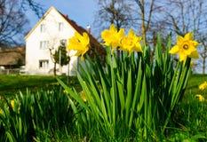 Exploração agrícola do daffodil da mola Fotografia de Stock Royalty Free