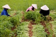 Exploração agrícola do espinafre em Vietnam imagem de stock royalty free