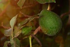Exploração agrícola do fruto de abacate imagens de stock royalty free