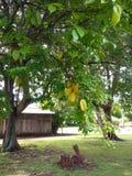 Exploração agrícola do fruto de estrela imagens de stock royalty free