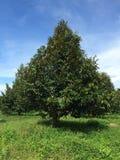 exploração agrícola do fruto do durian fotografia de stock royalty free