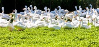 Exploração agrícola do ganso imagens de stock