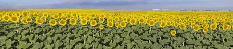 Exploração agrícola do girassol, Colorado imagens de stock royalty free