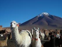 Exploração agrícola do lama Imagens de Stock Royalty Free