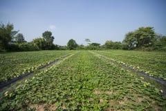 Exploração agrícola do melão do cantalupo. imagens de stock