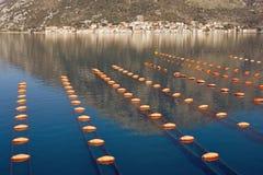 Exploração agrícola do mexilhão da cultura da corda da cultura do Longline Montenegro, mar de adriático, baía de Kotor imagem de stock