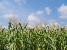 Exploração agrícola do milho Imagens de Stock