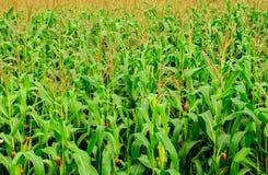 A exploração agrícola do milho Imagens de Stock