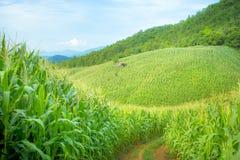 Exploração agrícola do milho foto de stock