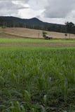 Exploração agrícola do milho Imagens de Stock Royalty Free