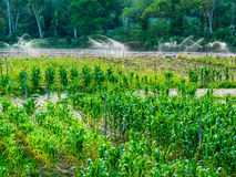 Exploração agrícola do milho Imagem de Stock Royalty Free
