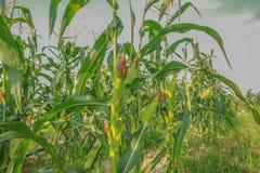 Exploração agrícola do milho Fotografia de Stock Royalty Free