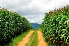 Exploração agrícola do milho em tailandês Fotografia de Stock