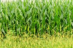 Exploração agrícola do país de Amish, parede do milho, agricultura em Lancaster, PA do campo imagem de stock royalty free