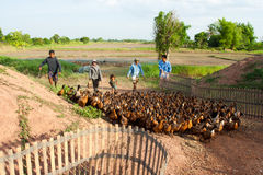 Exploração agrícola do pato Imagem de Stock Royalty Free