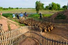 Exploração agrícola do pato Imagens de Stock