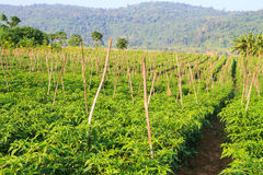 Exploração agrícola do pimentão Imagens de Stock Royalty Free
