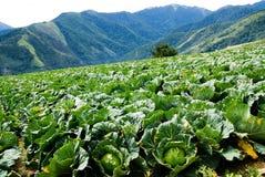 Exploração agrícola do repolho Fotos de Stock Royalty Free