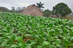 Exploração agrícola do tabaco fotos de stock royalty free