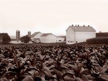 Exploração agrícola do tabaco de Amish imagem de stock