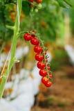 Exploração agrícola do tomate de cereja Fotografia de Stock