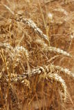 Exploração agrícola do trigo Imagem de Stock