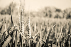 Exploração agrícola do trigo imagens de stock royalty free