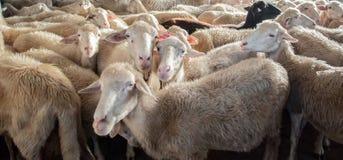 Exploração agrícola dos carneiros Foto de Stock