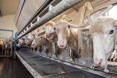 Exploração agrícola dos carneiros Fotografia de Stock