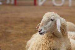 Exploração agrícola dos carneiros fotos de stock royalty free