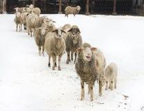 Exploração agrícola dos carneiros Imagem de Stock Royalty Free