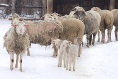 Exploração agrícola dos carneiros Imagens de Stock